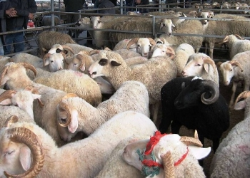Koyun Keçiler