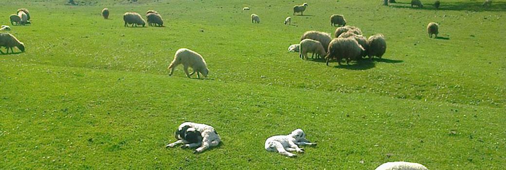 Amasya Koyun Keçi Birliği